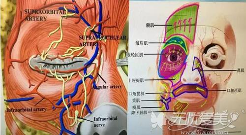 面部血管图