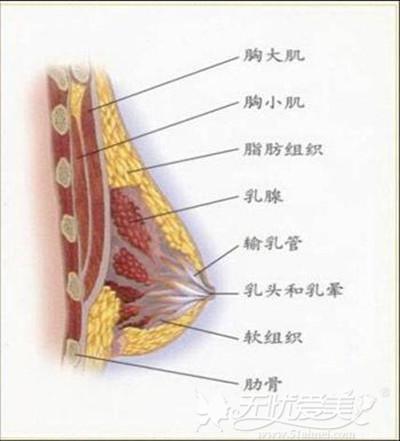 乳房的基本组织结构