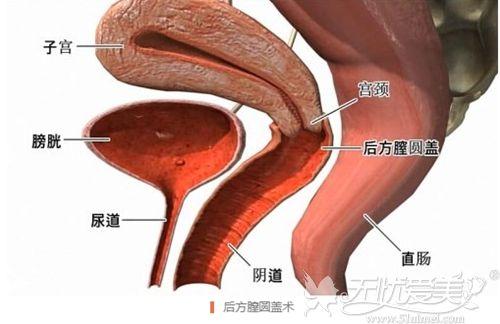 子宫阴道分布的位置