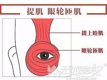 眼部提肌的位置