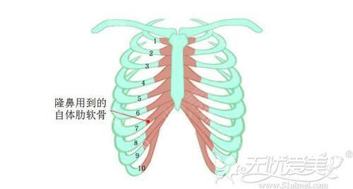 肋软骨的位置