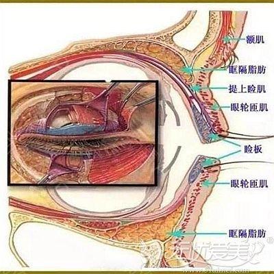 眼部组织结构示意图