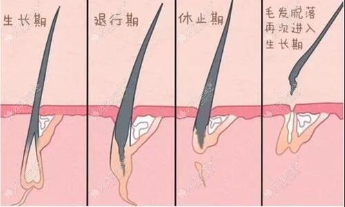 毛发的生长过程